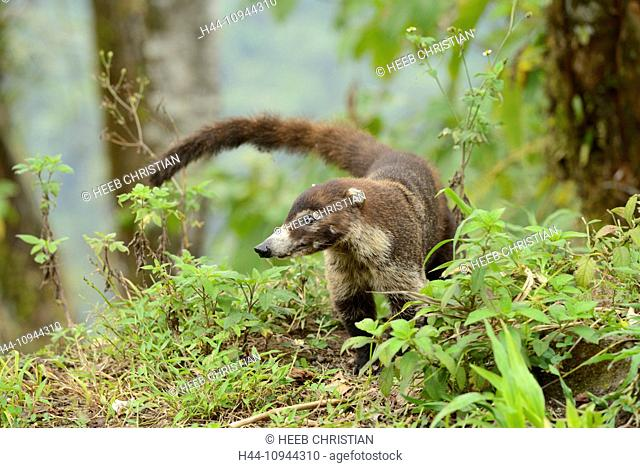 Central America, Costa Rica, coati, Nasua, wildlife, animal, coati mundi, Alajuela