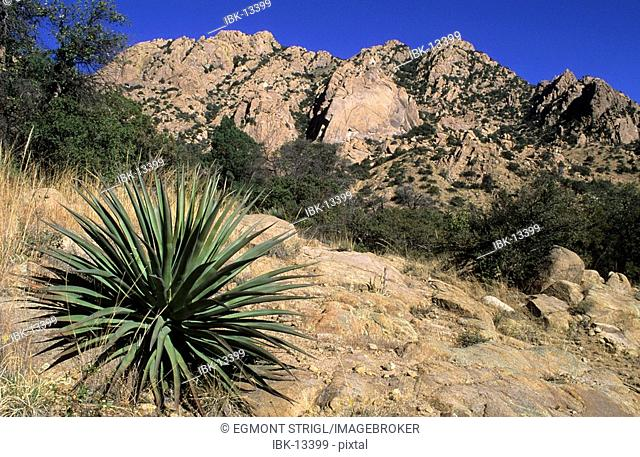 Agave or century plant in the Dragoon Mountains