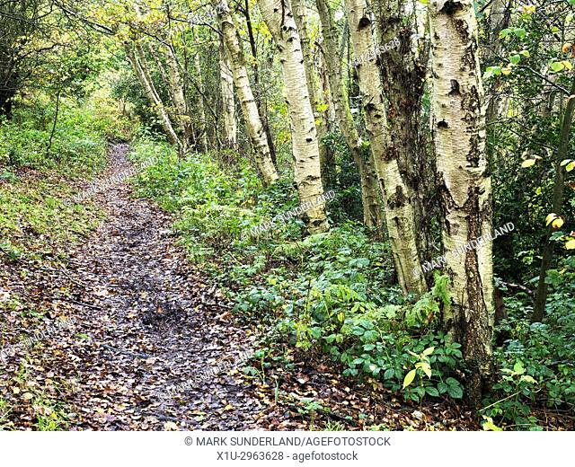 Silver Birch Trees by the Path in Autumn at Birk Crag Harrogate Yorkshire England