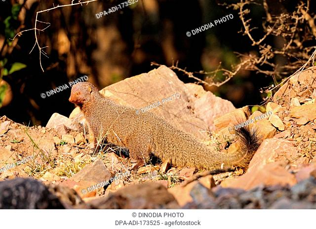 Ruddy mongoose black-tailed mongoose herpestes smithii , Ranthambore national park , Rajasthan , India