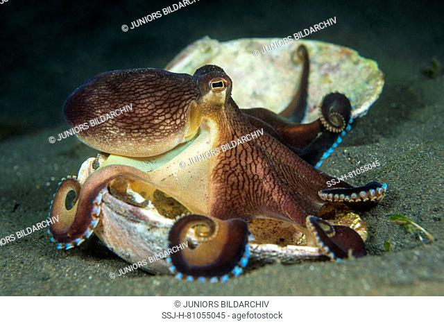 Coconut octopus, veined octopus (Amphioctopus marginatus), collecting shells (tool use) from the sea floor