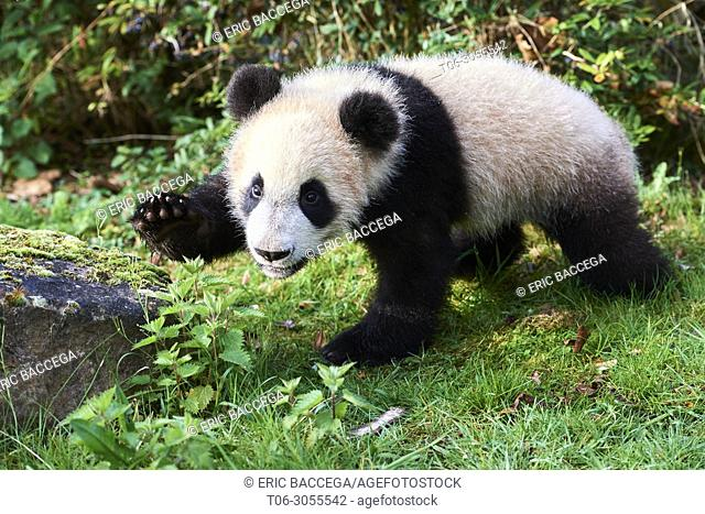 Giant panda cub (Ailuropoda melanoleuca) investigating its enclosure, captive. Yuan Meng, first giant panda ever born in France, is now 8 months old