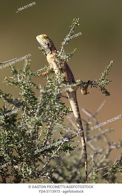 Ground agama (Agama aculeta), Kgalagadi Transfrontier Park, Kalahari desert, South Africa/Botswana.