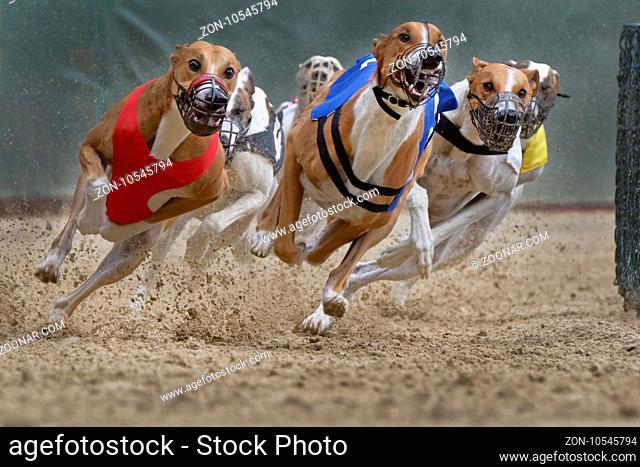 Windhundrennen, EM 2015 Hünstetten, Deutschland, Europa / Greyhound racing, EM 2015 Hünstetten , Germany, Europe