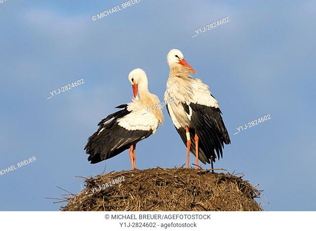 White Storks (Ciconia ciconia) on Nest, Hesse, Germany, Europe