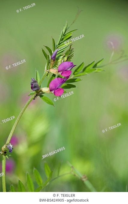Narrow leaf vetch (Vicia angustifolia, Vicia angustifolia subsp. angustifolia), blooming, Germany
