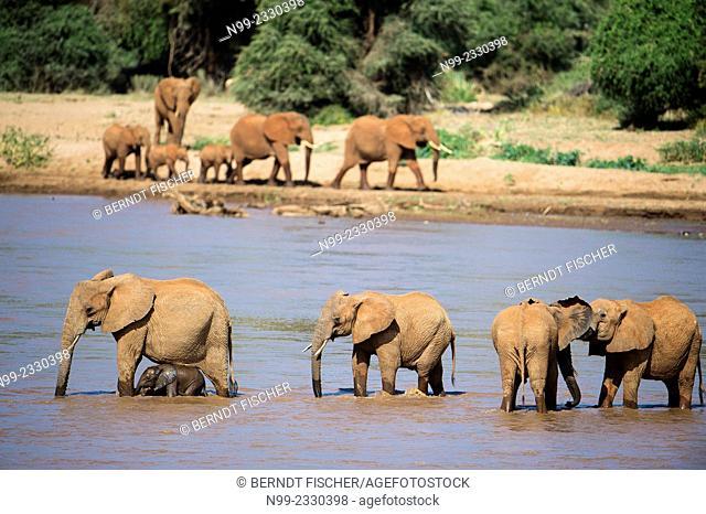African elephant (Loxodonta africana), herd crossing a river, Samburu National Reserve, Kenya