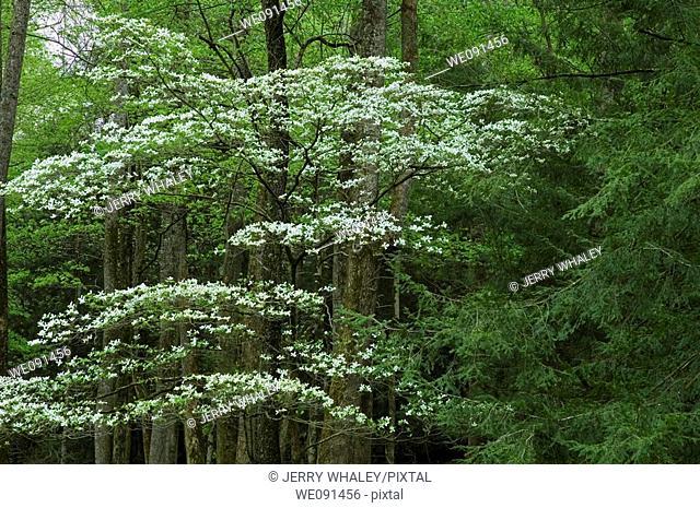 Dogwood, Spring, Cades Cove, Great Smoky Mtns NP, TN, USA