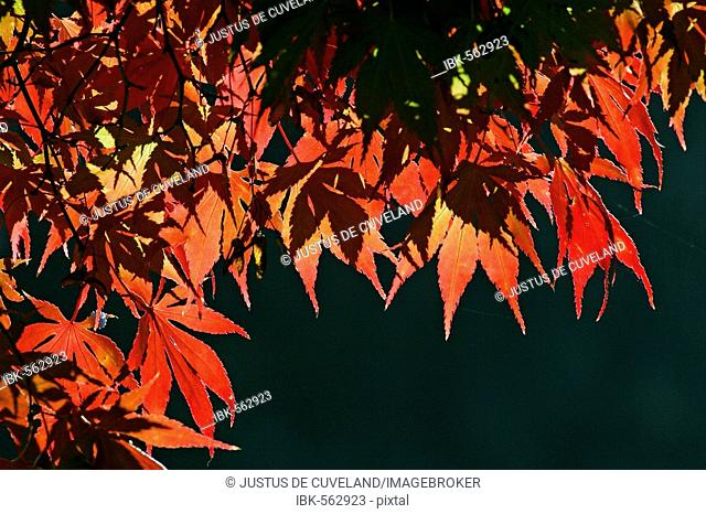 Japanese maple - leaves in autumn colours - colourful foliage (Acer palmatum cultivar)