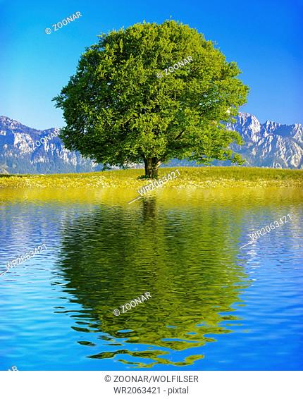 big old beech tree with reflection in lake
