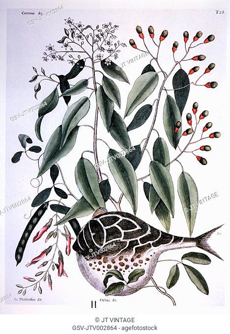 Sassafras and Globe Fish, Mark Catesby, The Natural History of Carolina, Florida and the Bahama Islands, 1731-1743