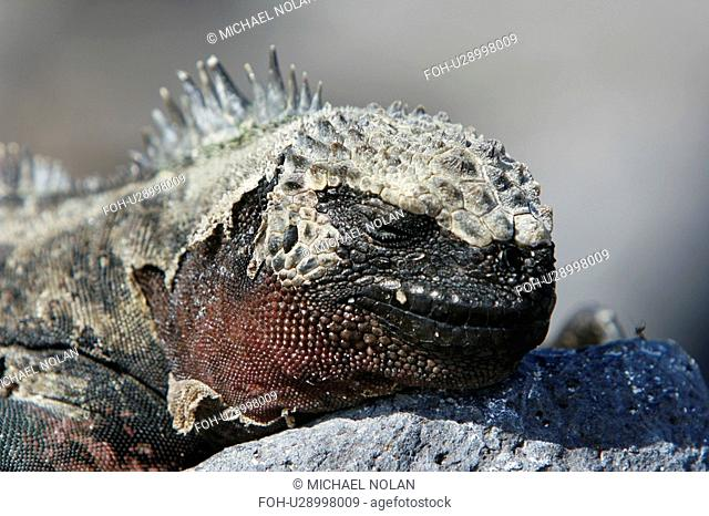 The endemic marine iguana Amblyrhynchus cristatus in the Galapagos Island Group, Ecuador. This close-up head detail shows an animal which is shedding it's skin
