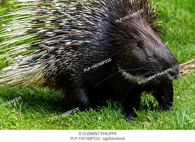 Crested porcupine (Hystrix cristata) native to Italy, North Africa and sub-Saharan Africa