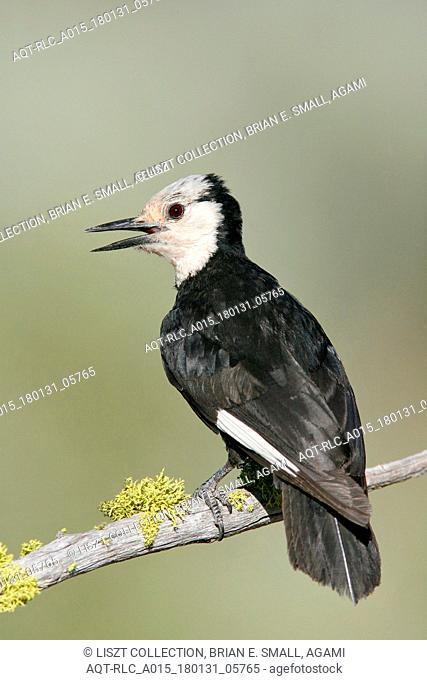 White-headed Woodpecker, Picoides albolarvatus, Leuconotopicus albolarvatus