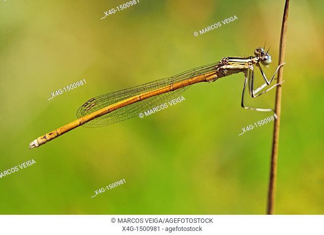 Orange Featherleg Platycnemis acutipennis