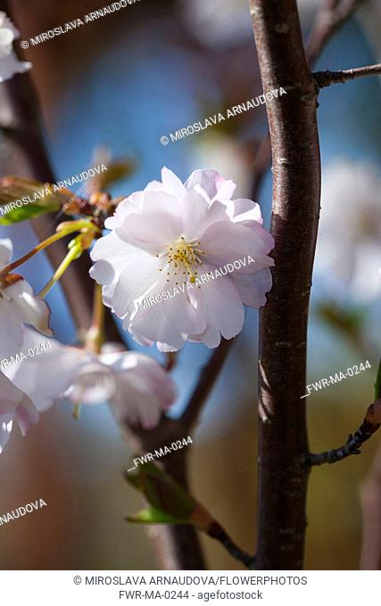Cherry, Prunus serrualta, Close up of pink flower blossoms growing on Japanese Cherry Tree outdoor