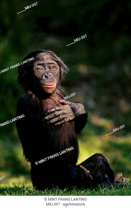 Bonobo juvenile, Pan paniscus, Native to Congo, DRC, Democratic Republic of the Congo