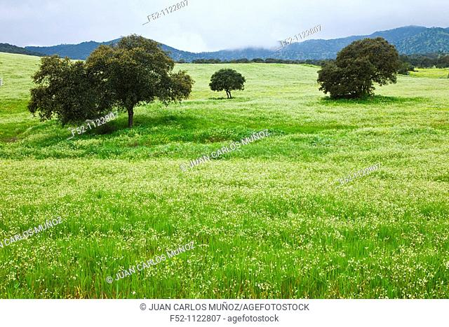 Meadow in spring, Sierra de Andújar Natural Park, Jaen province, Andalusia, Spain