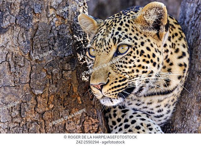 African leopard (Panthera pardus pardus) female in a tree. Ruaha National Park. Tanzania