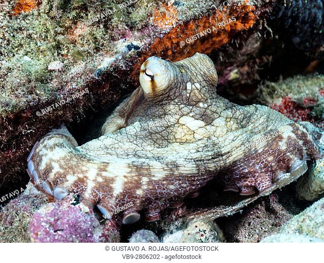 Common octopus octopus vulgaris on coral reef