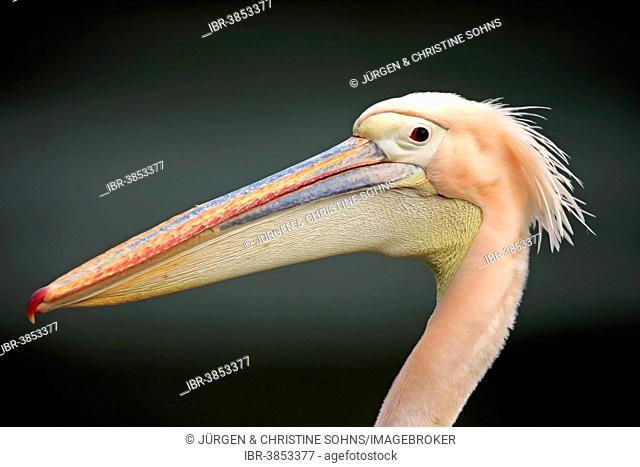 Great White Pelican (Pelecanus onocrotalus), adult, portrait, Luisenpark, Mannheim, Baden-Württemberg, Germany