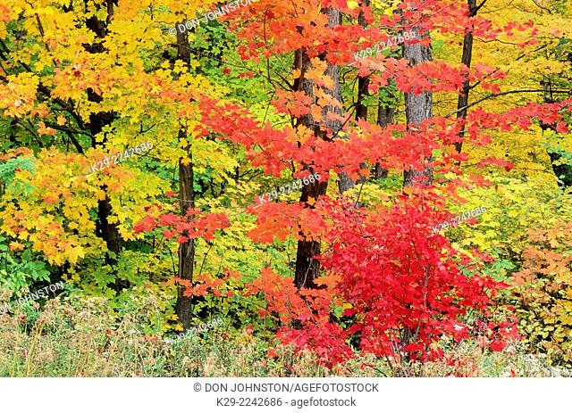 Autumn colour in maple trees, Killarney Provincial Park, Ontario, Canada