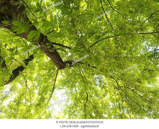 Poland. Green tree