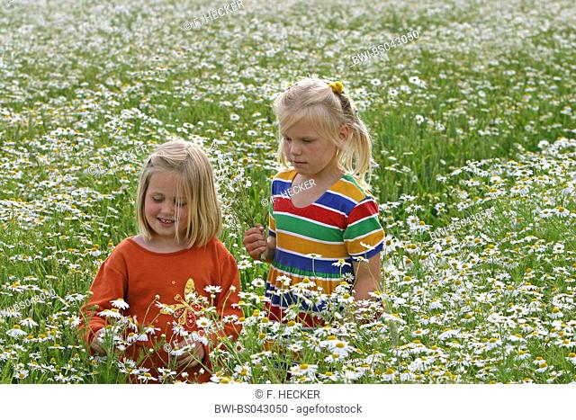 Scentless mayweed, Scentless chamomile (Tripleurospermum perforatum, Tripleurospermum inodorum, Matricaria inodora), two girls picking flowers in a flowering...
