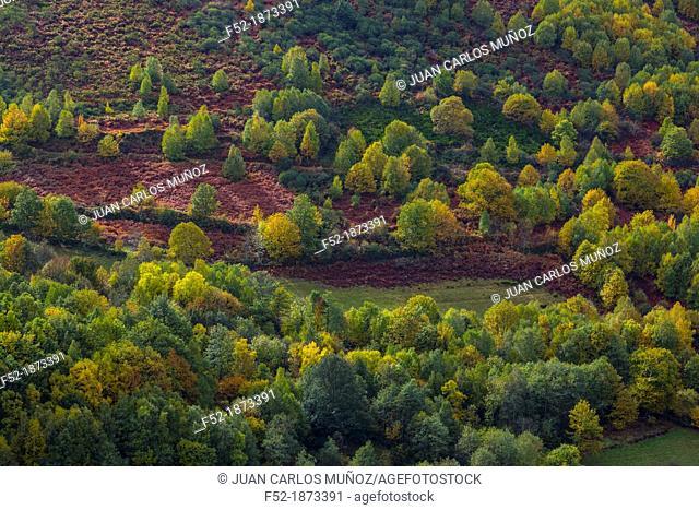 BIRCH Betula sp , Fuentes del Narcea, Degaña e Ibias Natural Park, Asturias, Spain, Europe