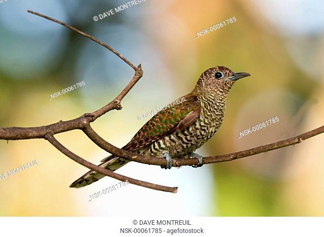 African Emerald Cuckoo (Chrysococcyx cupreus) female perched on a branch, Malawi, Blantyre