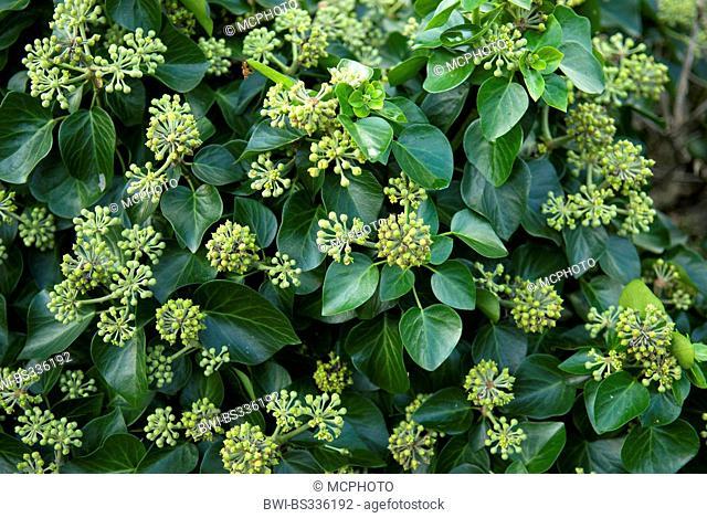 Ivy (Hedera helix 'Arbori Compact', Hedera helix Arbori Compact), cultivar Arbori Compact