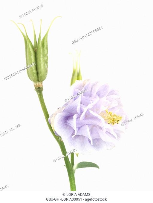 Tower Light Blue Columbine, Aquilegia vulgaris, Bloom and Seed Pod against White Background