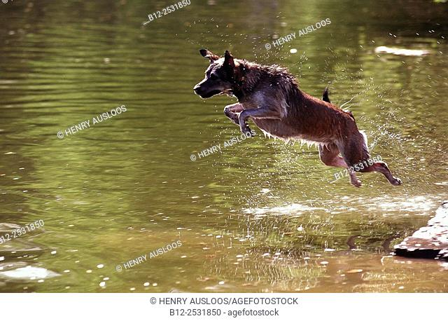 Dog jumping in the water Canis familiaris