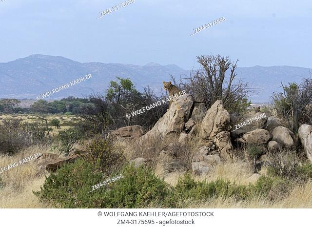 A lioness (Panthera leo) sitting on a rock is looking for prey in the Samburu National Reserve in Kenya