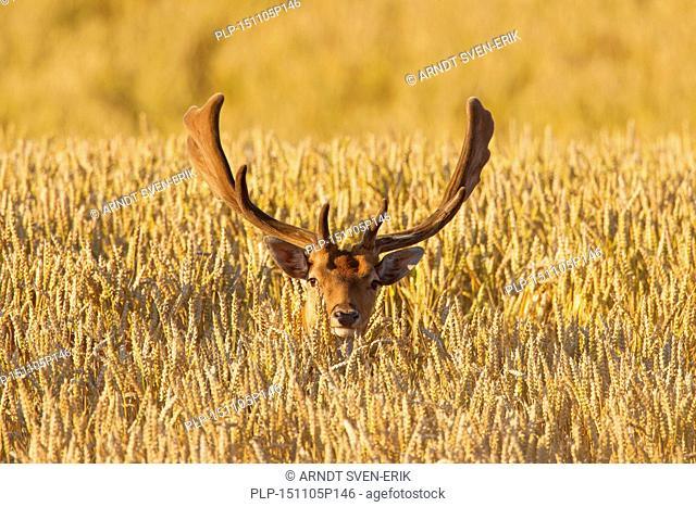 Fallow deer (Dama dama) buck with antlers covered in velvet in wheat field in summer