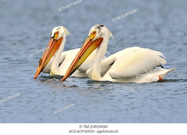 Great White Pelicans Pelecanus onocrotalus, Brooks, Alberta, Canada