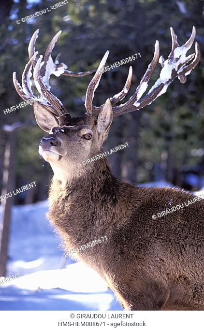 France, Pyrénées-Orientales (66), Cerdanya, winter, stag in Les Angles animal park
