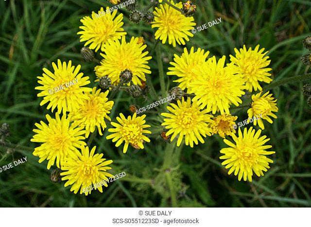 Hawkweed Hieracium sp Sark British Channel Islands, UK