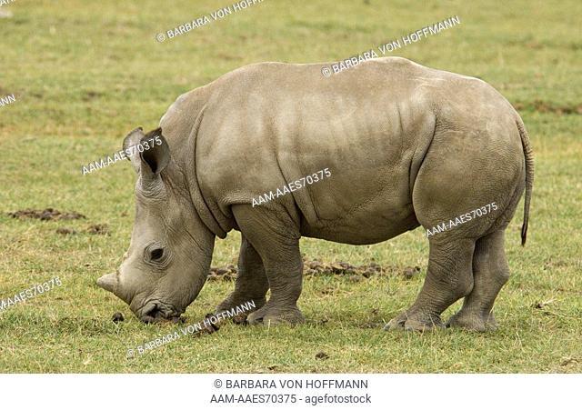 White Rhino baby (Ceratotherium simum) Lake Nakuru National Park, Kenya