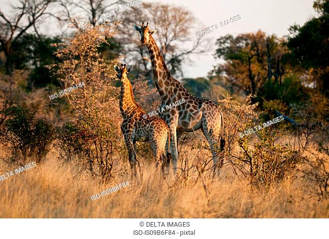 Giraffes (Giraffe camelopardalis), Okavango Delta, Botswana