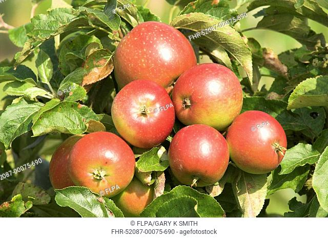 Cultivated Apple Malus domestica 'George Cave' cordon, ripe fruit, England, summer