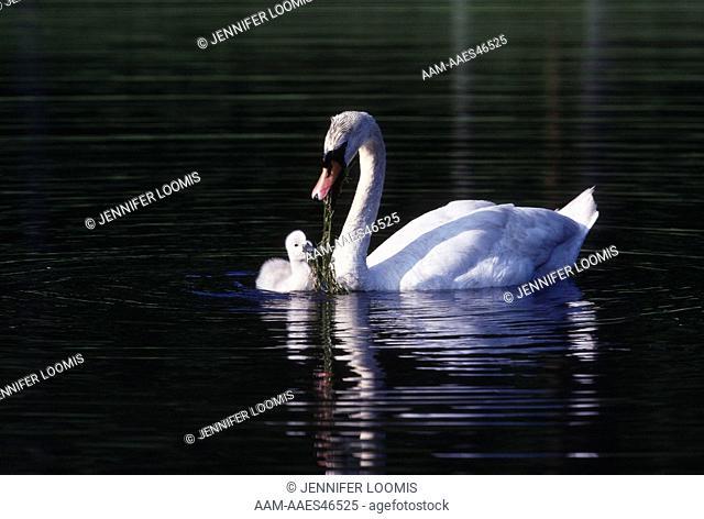 Mute Swan (Cygnus olor) with cygnet, feeding, NH
