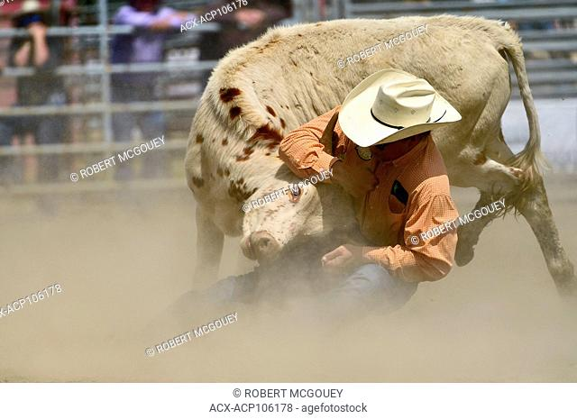 A cowboy try's to throw a steer at a bull doggin event at a rodeo in Alberta, Canada