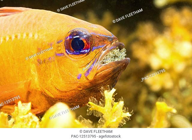 This male Ring-tailed Cardinalfish (Ostorhinchus aureus) is protecting and incubating it's eggs by carrying them in his mouth; Philippines