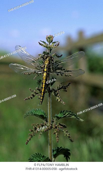 Hairy Dragonfly Brachytron pratense Female on Stinging Nettle