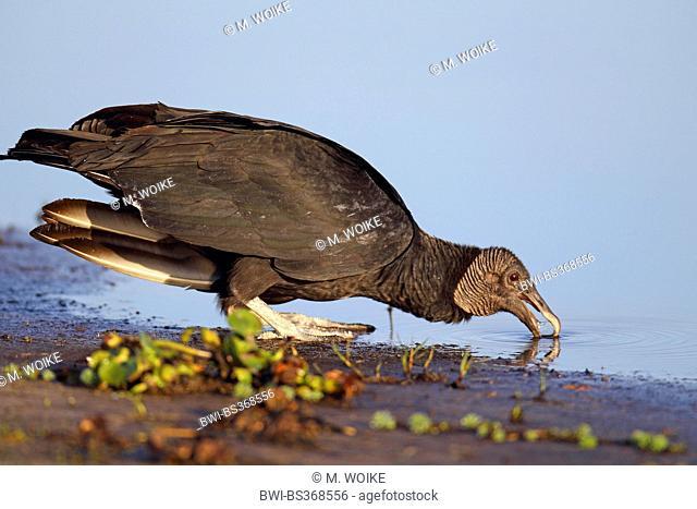 American black vulture (Coragyps atratus), drinks, USA, Florida, Myakka River State Park