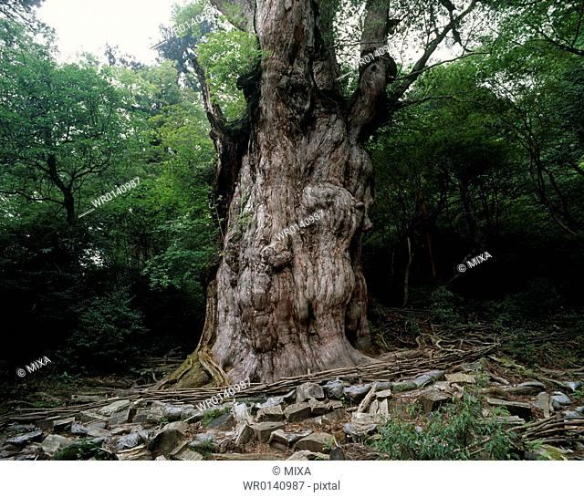 Jomon Cedar, Yakushima, Kumage, Kagoshima, Japan
