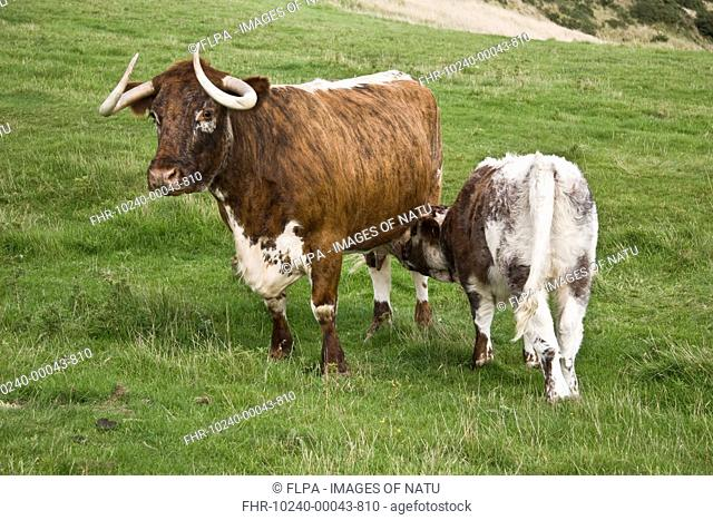 Domestic Cattle, Longhorn cow with calf, suckling, standing in pasture, Dorset, England, september