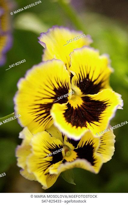 Yellow Pansy Flower Duo. Viola x wittrockiana