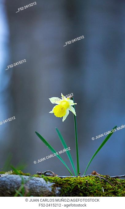 Narcissus pseudonarcissus (commonly known as wild daffodil or Lent lily), Beech forest, Urkiola Natural Park, Bizkaia, Basque Country, Spain, Europe